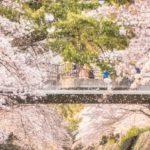 桜吹雪と橋、春のイメージ