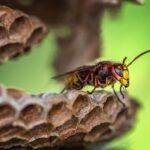 スズメバチ、女王蜂